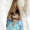 母乳の代わりに、牛の乳を飲んで育つ幼児