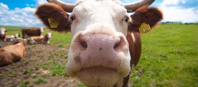 遺伝子組み換えの牛が変える未来