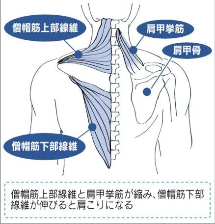 僧帽筋(ソウボウキン)と肩甲挙筋(ケンコウキョウキン)