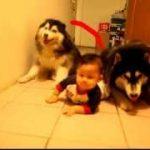 赤ちゃんのハイハイをマネして、犬もハイハイ