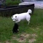 お父さん(ソフトバンク犬) vs スカンク